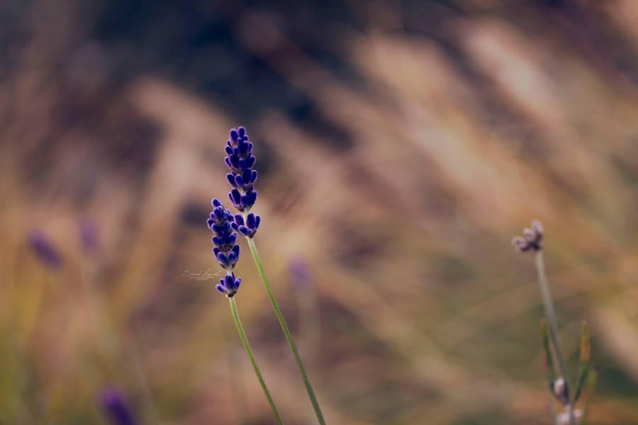 Lavendel im Herbst by Hazel-Photography