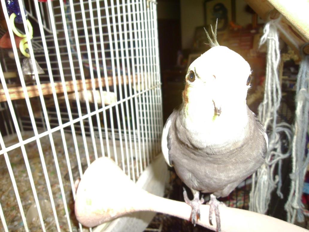 Maui the Alien Cockatiel by Windthin