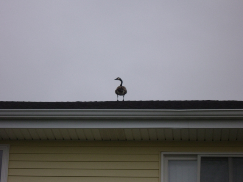A Canadian on the Roof 1 by Windthin
