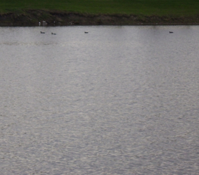 American Coots 8 by Windthin