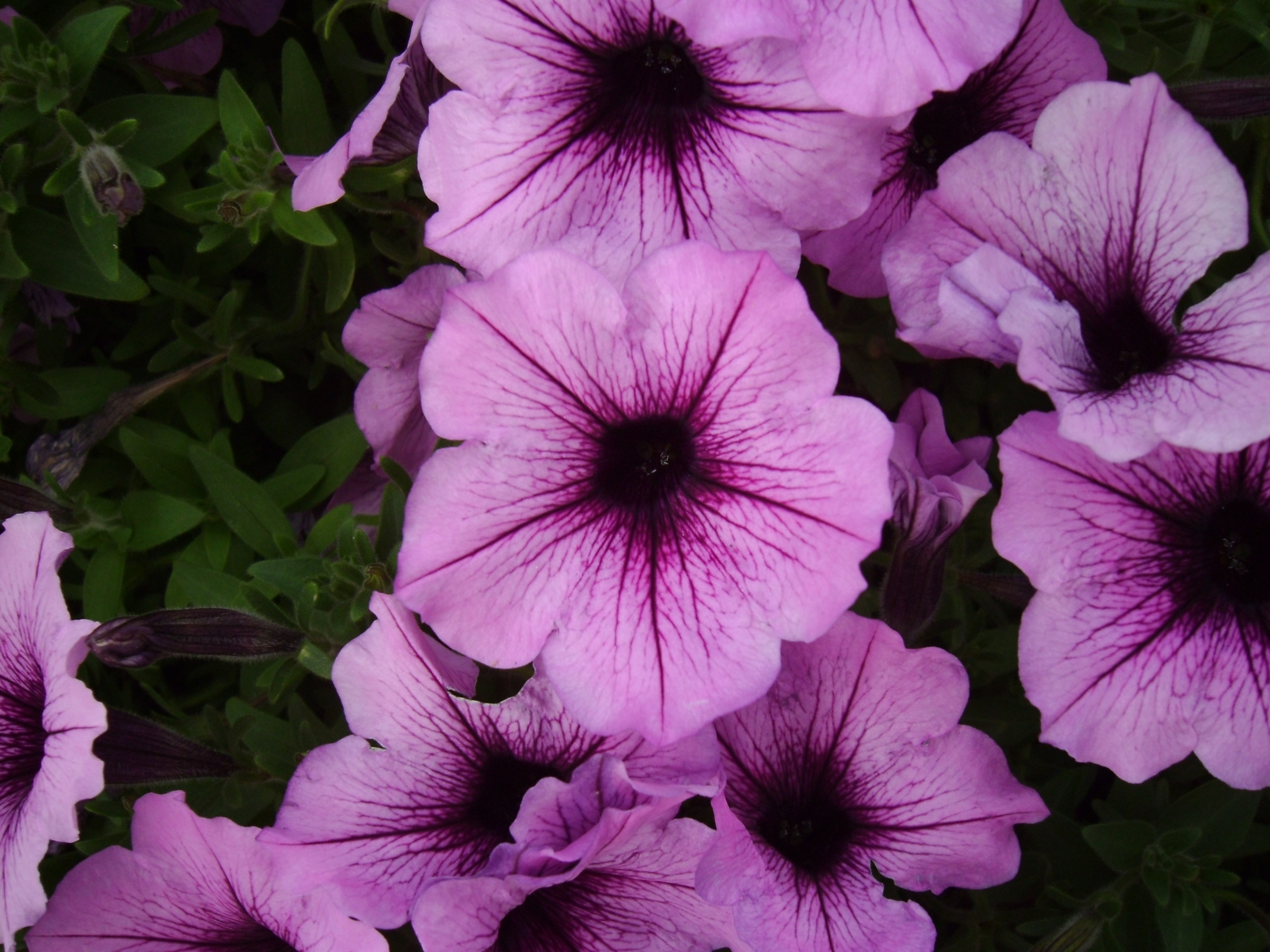 Purple Stars 2 by Windthin