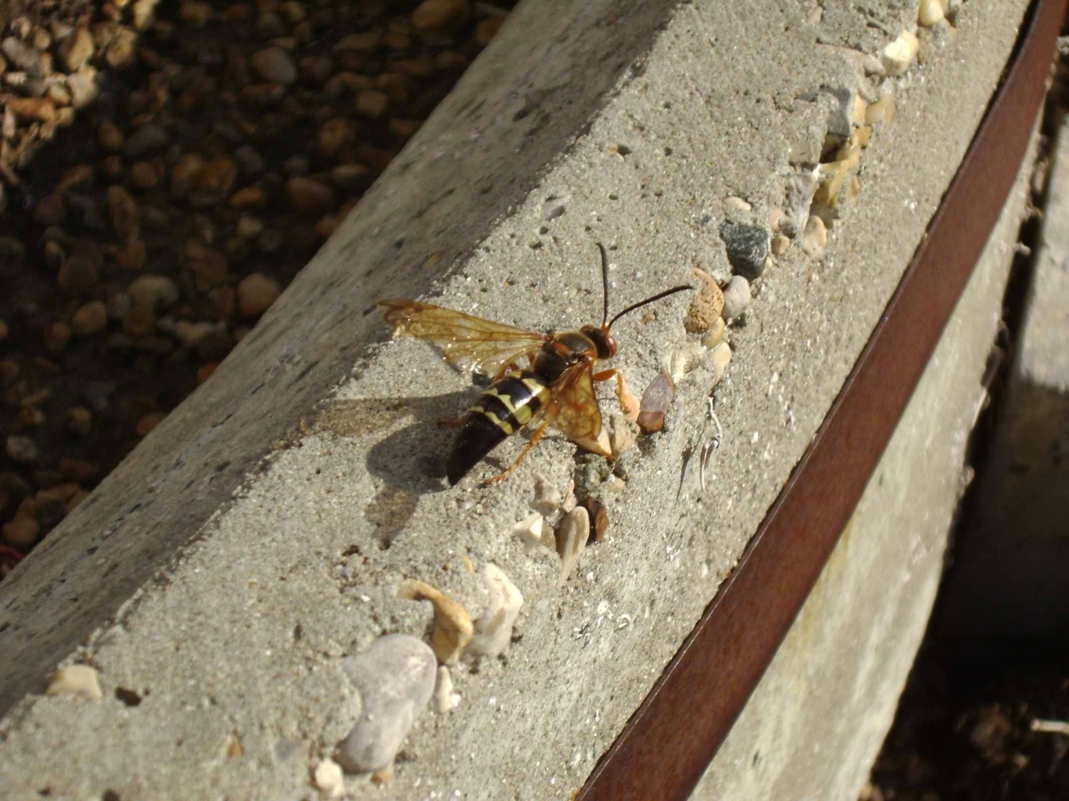 Cicada Killer Wasps 14 by Windthin
