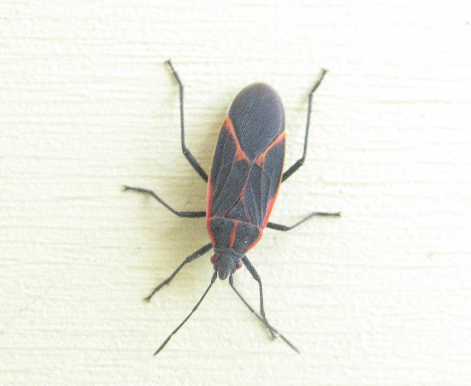 Boxelder Bug 2 by Windthin