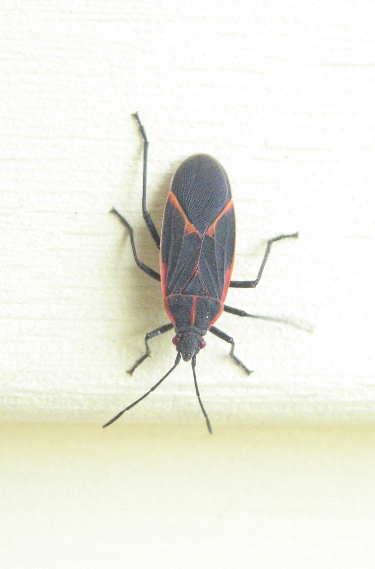 Boxelder Bug 3 by Windthin