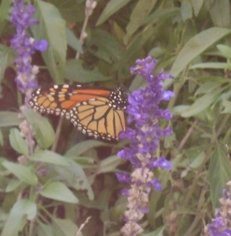 Monarch Butterfly 2 by Windthin