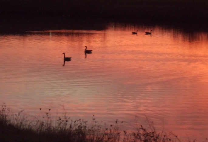 Geese in a Fall Sunset 3a by Windthin