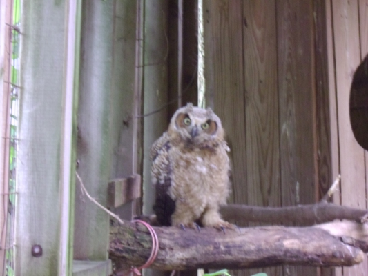 Great Horned Owlet 1 by Windthin