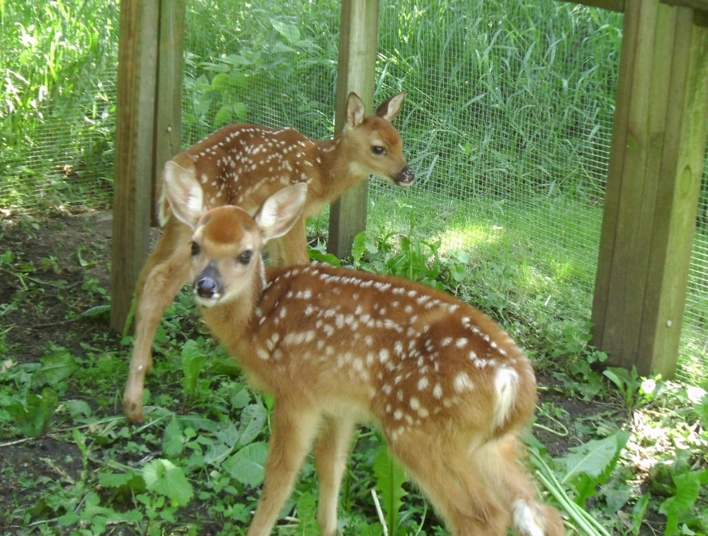 Curious Fawns 2 by Windthin