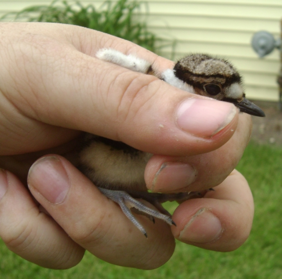 Baby Killdeer Rescue 1 by Windthin