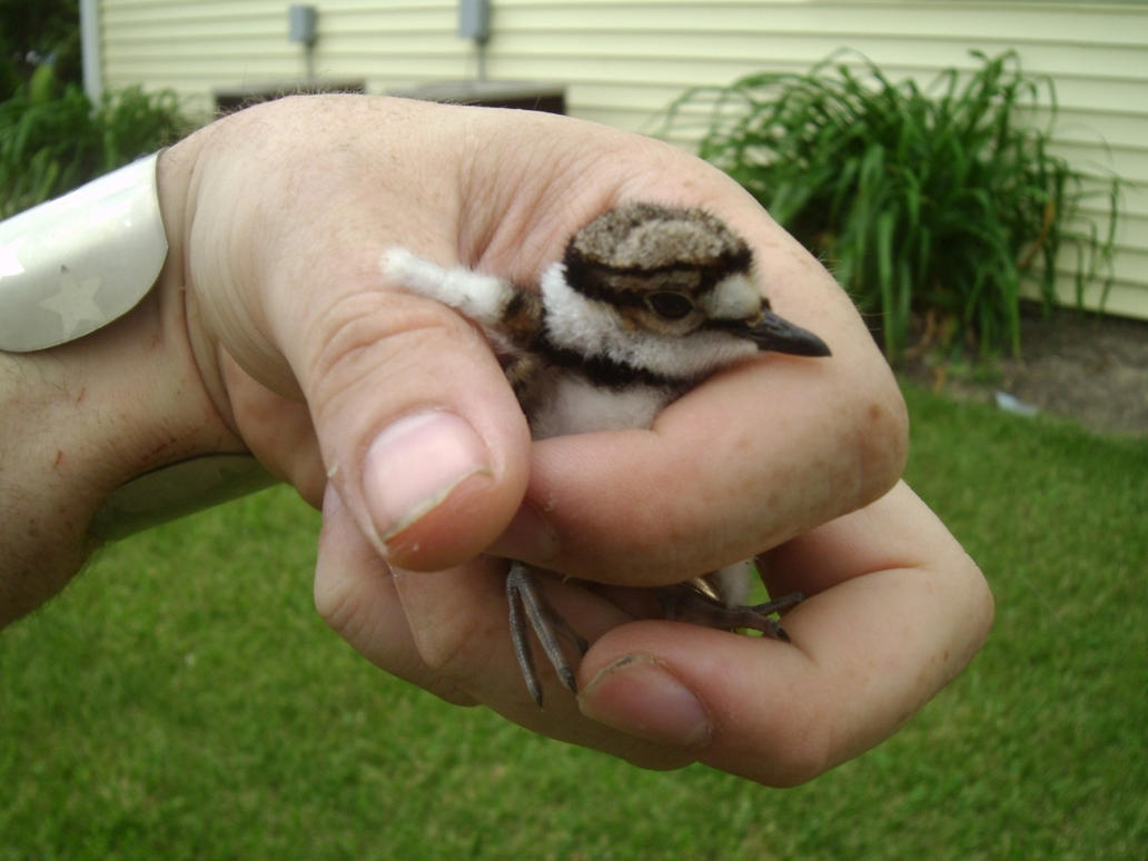 Baby Killdeer Rescue 2 by Windthin