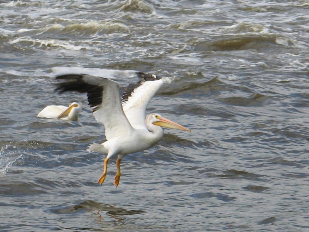 Rock River Pelicans 25 - Walking on Water by Windthin