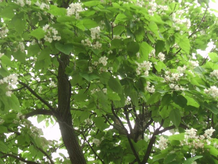 Catalpa Tree by Windthin