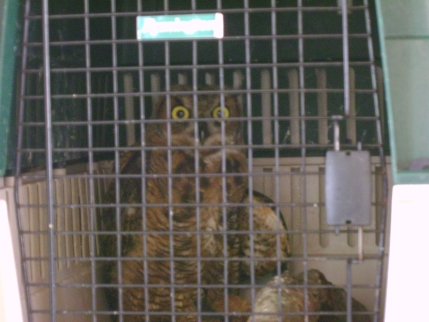 Injured Great Horned Owl 1 by Windthin