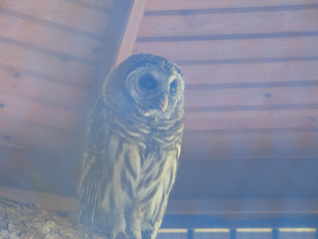 Young Barred Owl 2 by Windthin