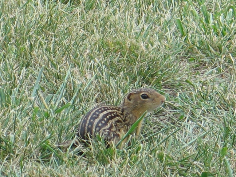 Thirteen-Lined Ground Squirrel 10 by Windthin