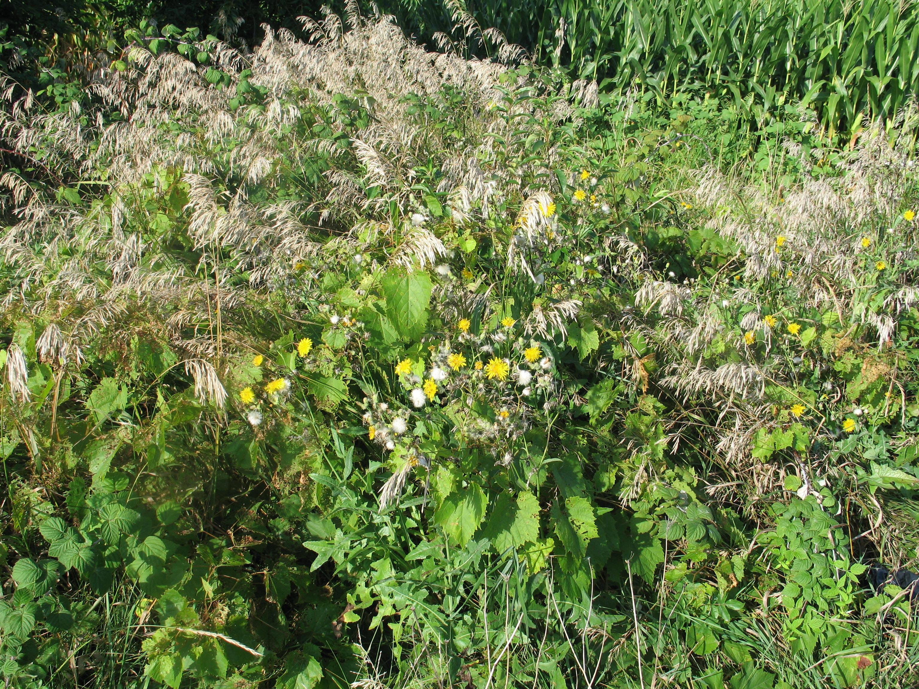 Wild Dandelions by Windthin