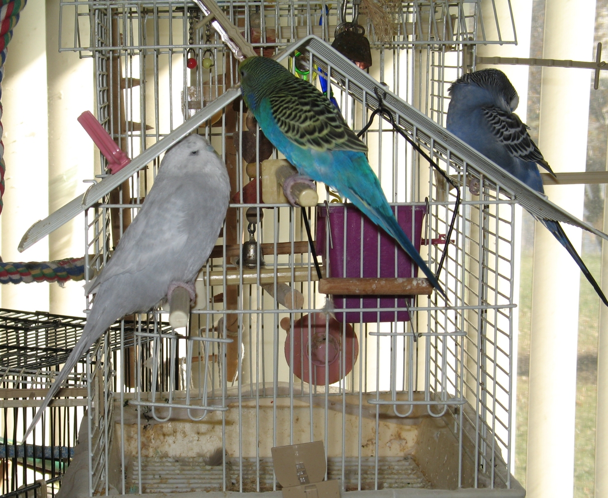 Budgies Up High 3 by Windthin