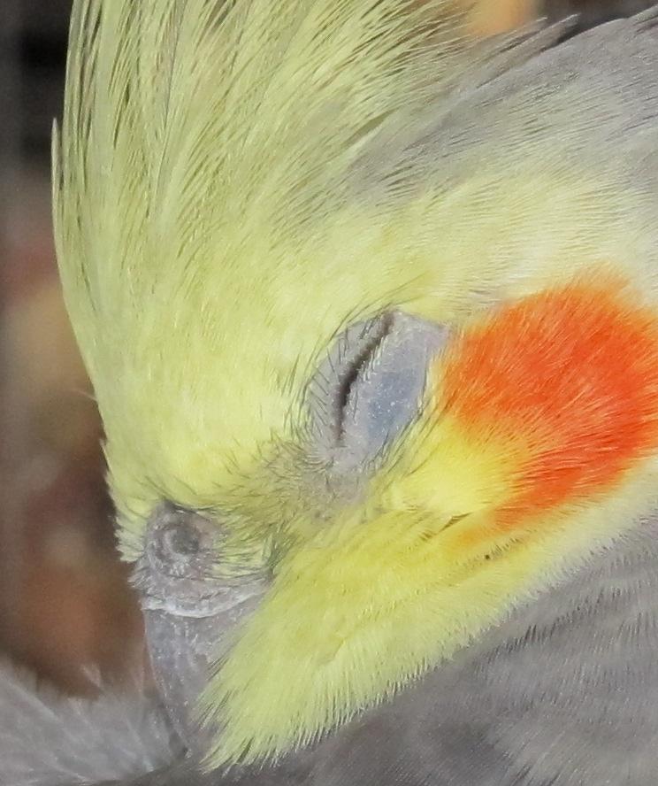Sleepy Maui Closeup by Windthin