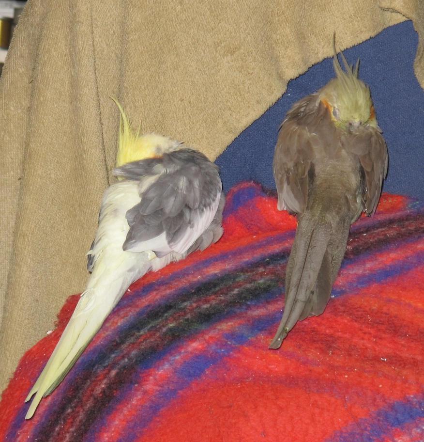 Sleepy Birds 1 by Windthin