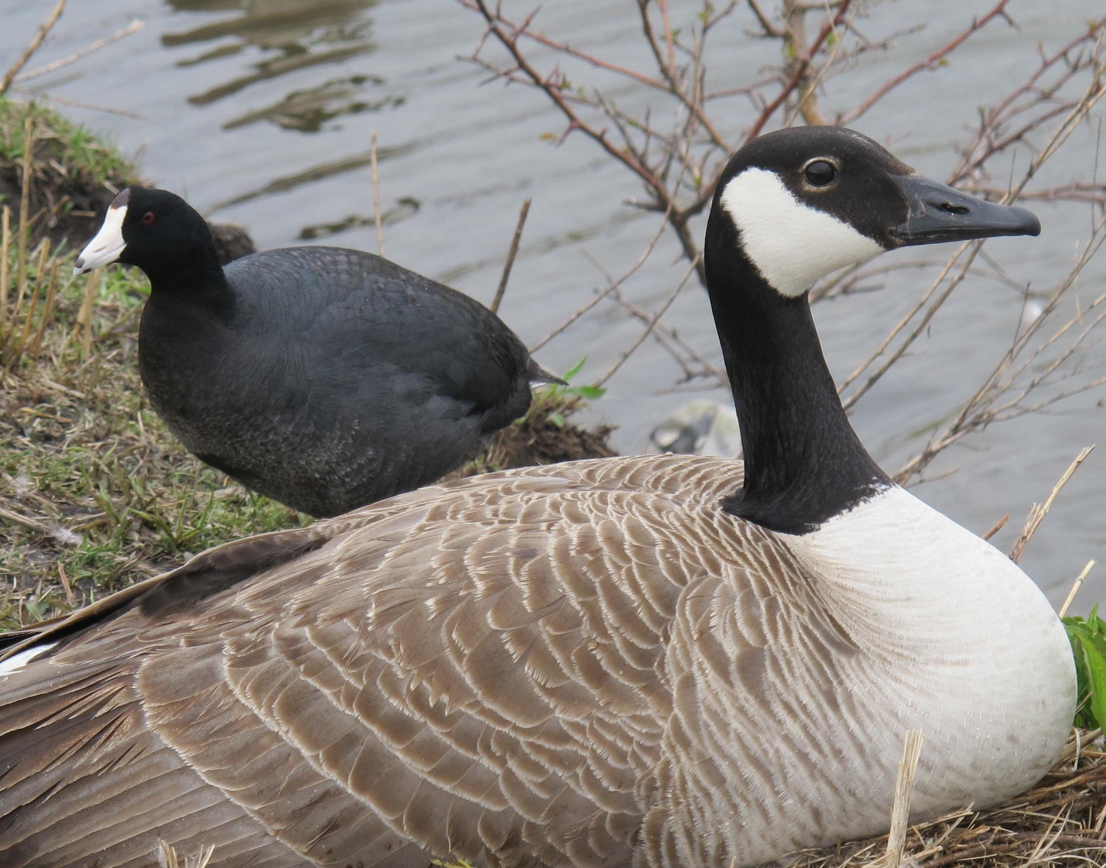 Buy Geese Food Online