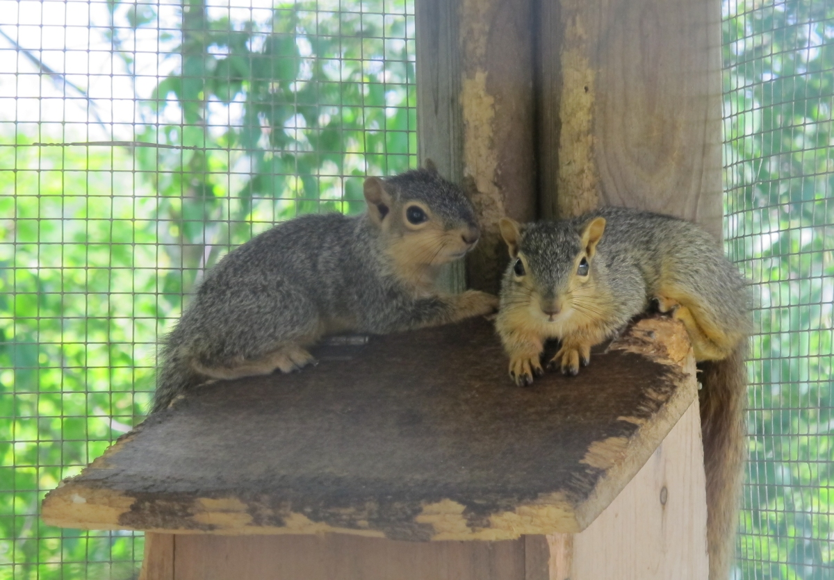 Young Fox Squirrels 1 by Windthin