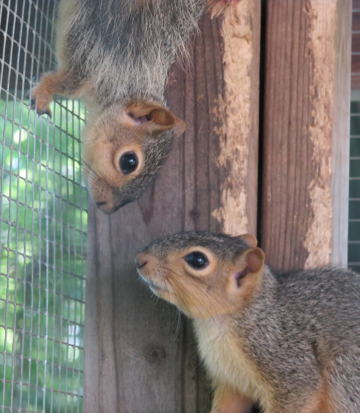 Young Fox Squirrels 2 by Windthin