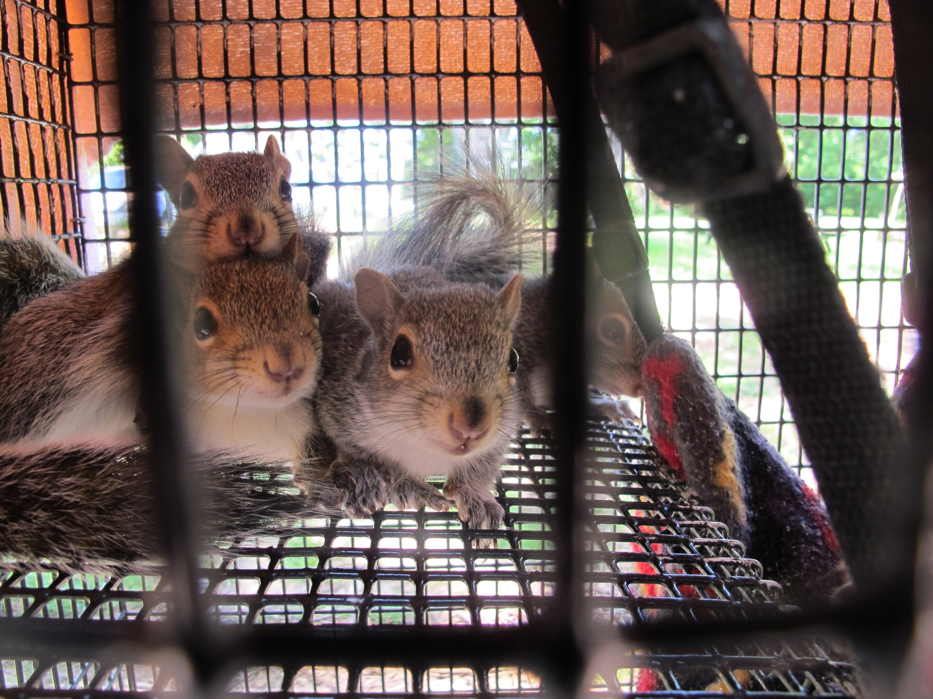 Young Gray Squirrels 2 by Windthin