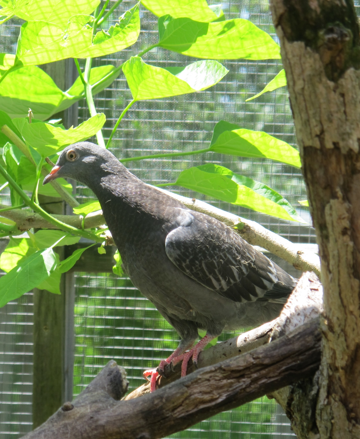 Young Pigeon 2 by Windthin