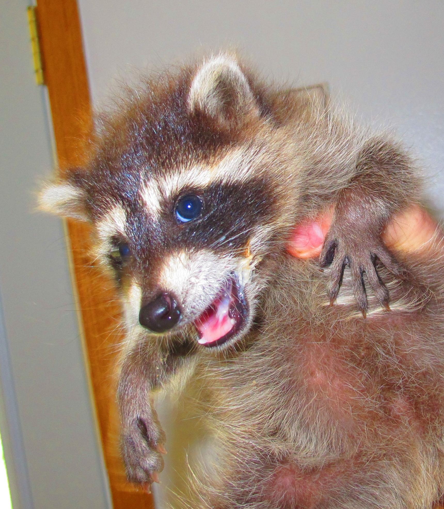Feisty Little Raccoon 1a by Windthin