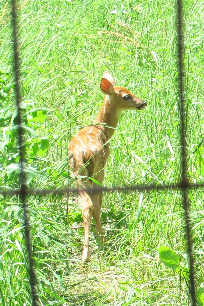 A Fawn in Tall Grass 3a by Windthin