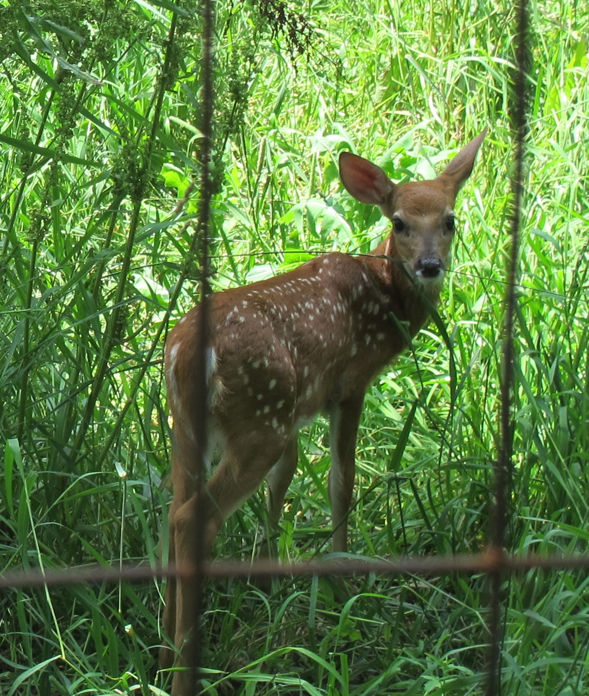 A Fawn in Tall Grass 3b by Windthin