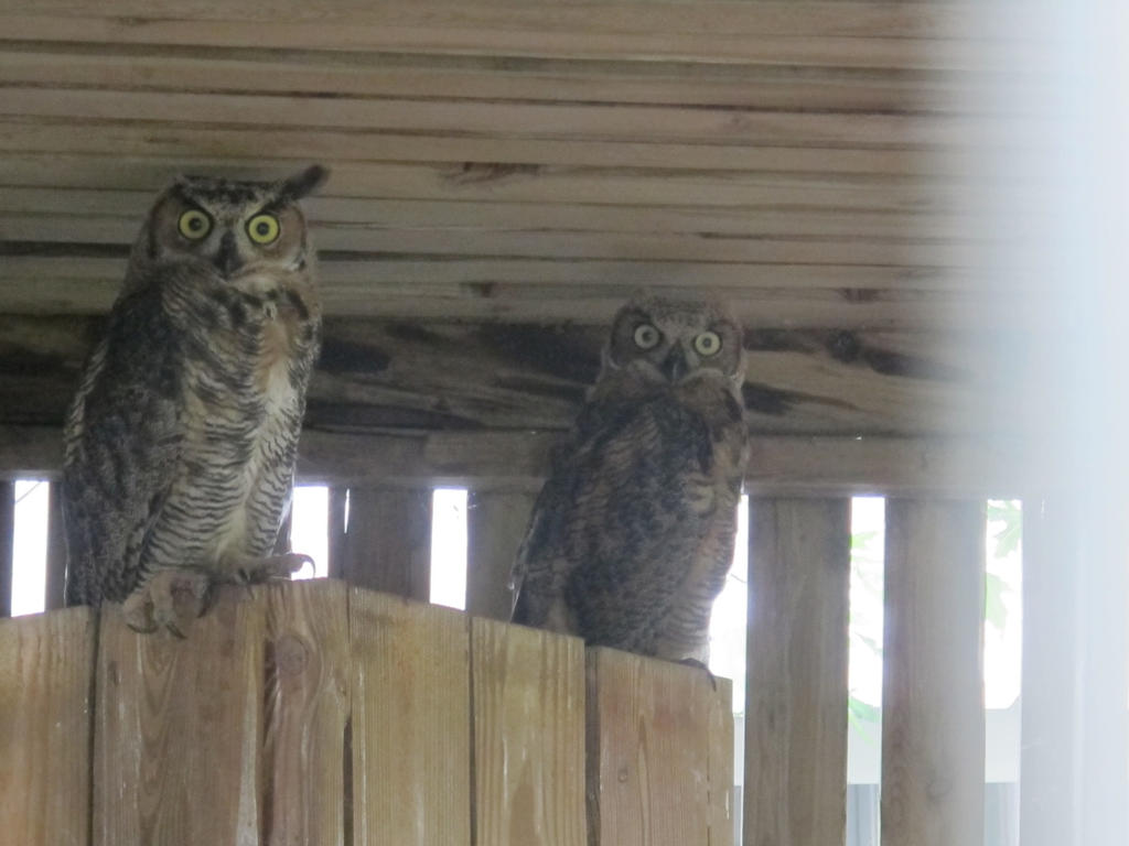 Great Horned Owls Growing Up 2 by Windthin