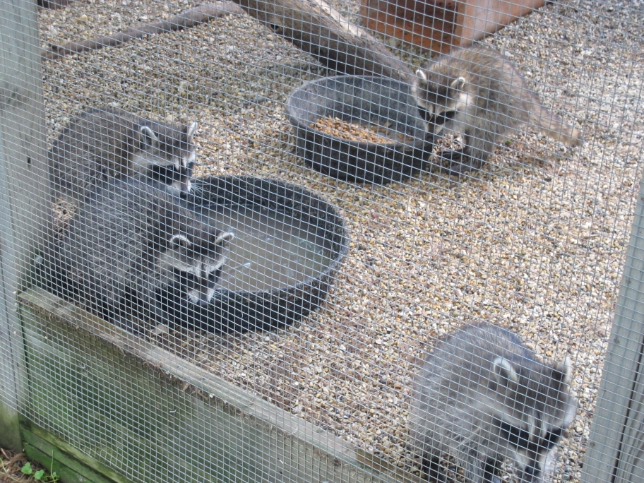 Outdoor Raccoons 6 by Windthin