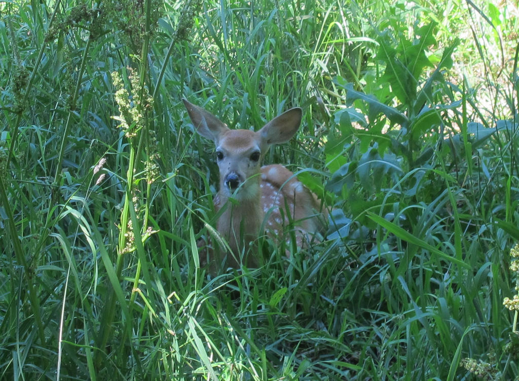 Fawn in the Tall Grass 3 by Windthin
