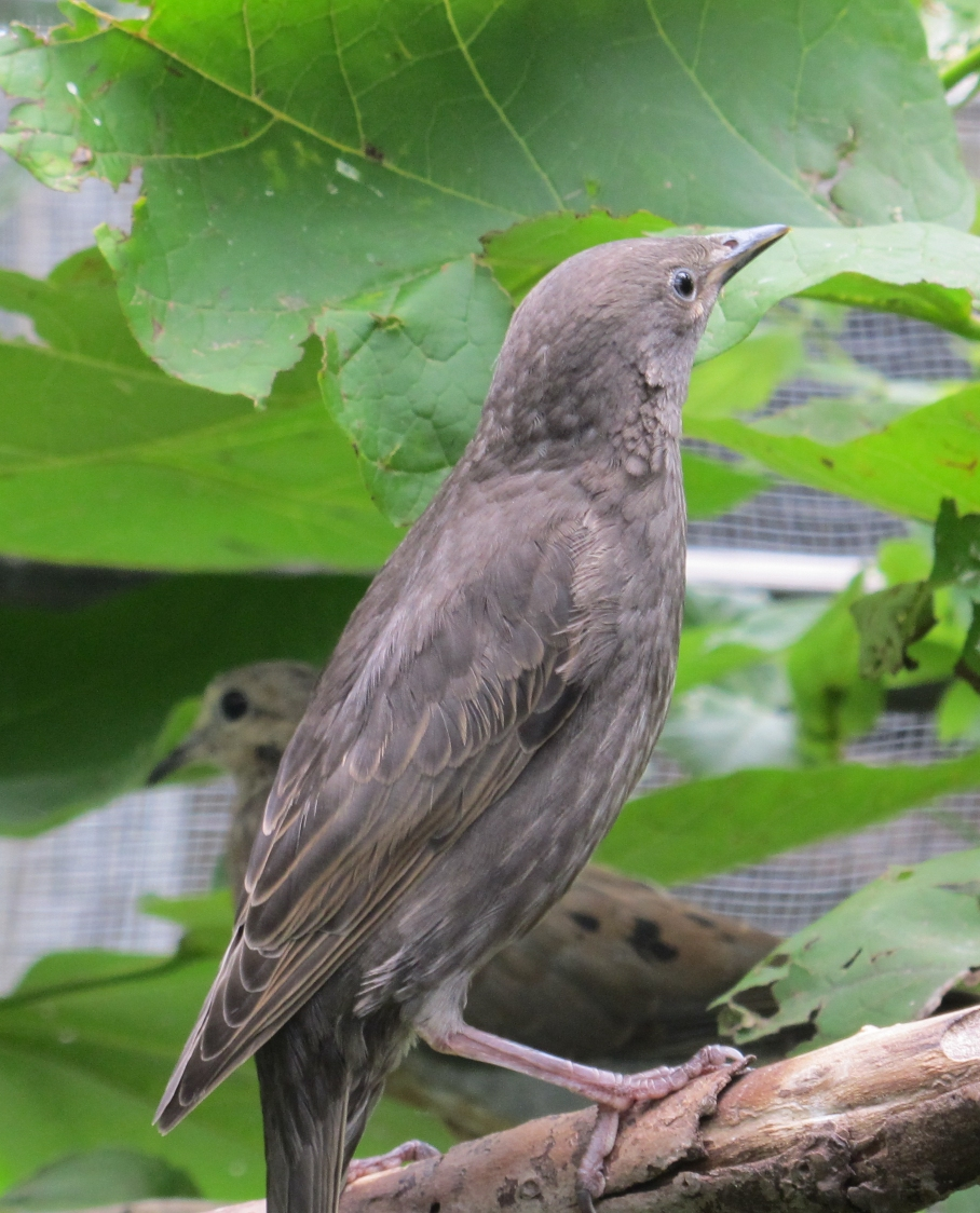 Young Starling 1a by Windthin