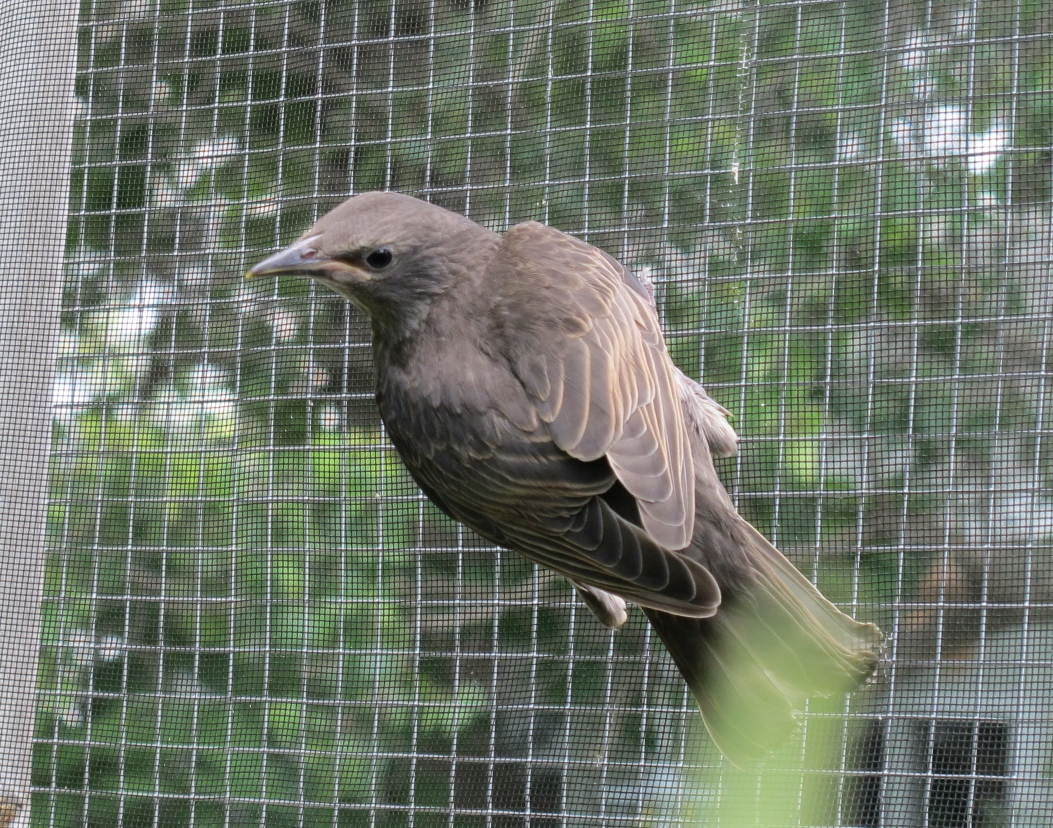 Young Starling 3a by Windthin