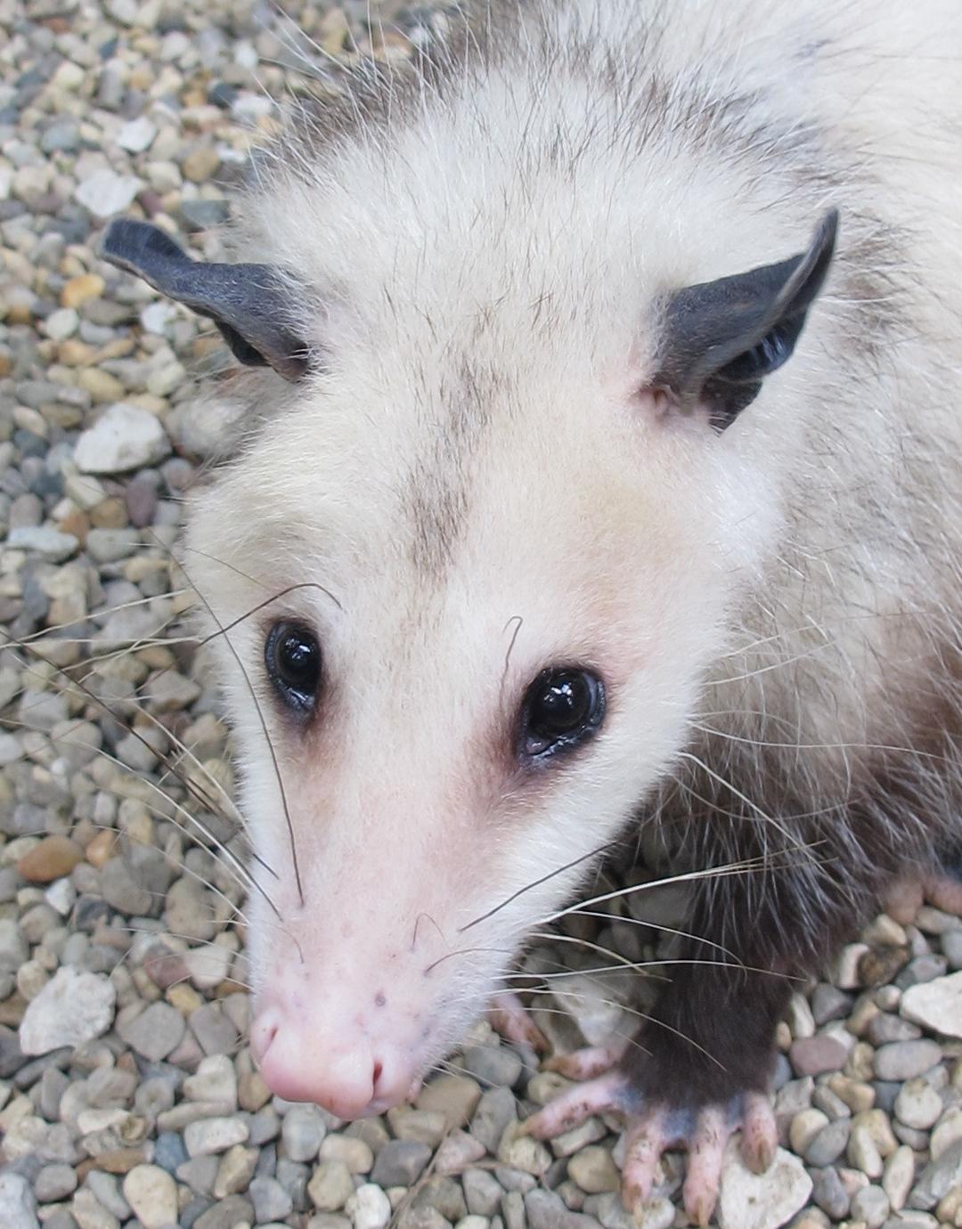 Momma Possum 1b by Windthin