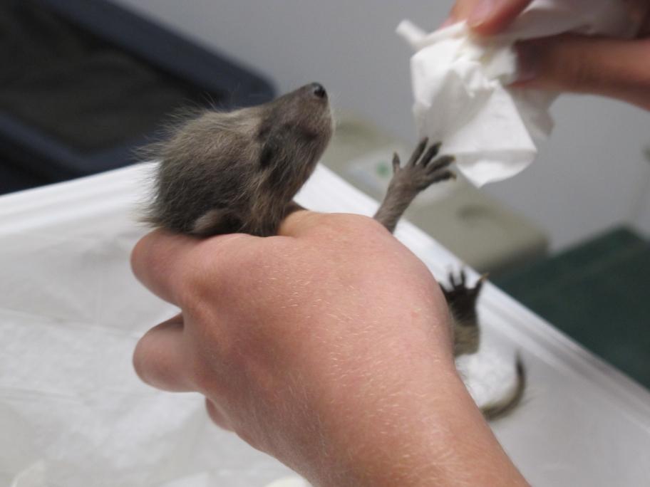 Tiny Raccoon 2 by Windthin