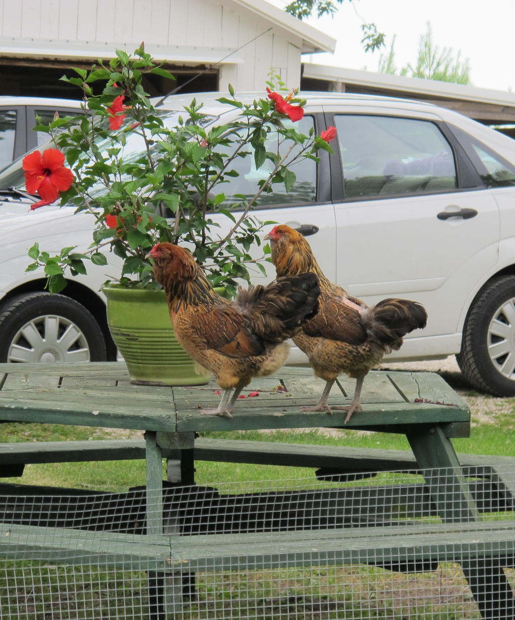 Two Hens on a Picnic Table 2 by Windthin