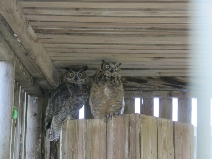 Great Horned Owls by Windthin