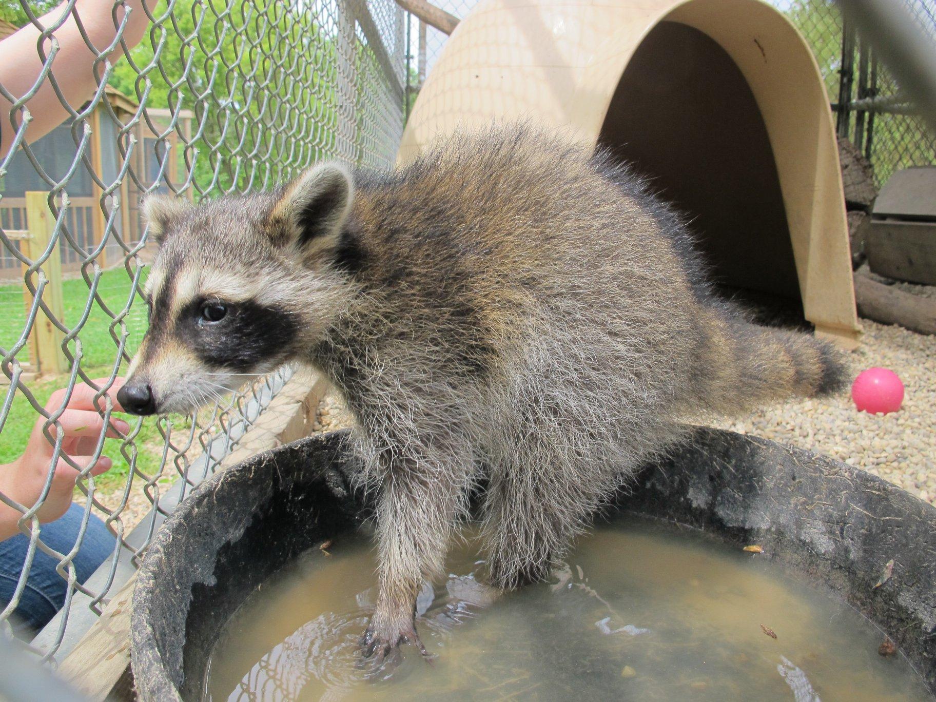 Three-Legged Raccoon 3 by Windthin