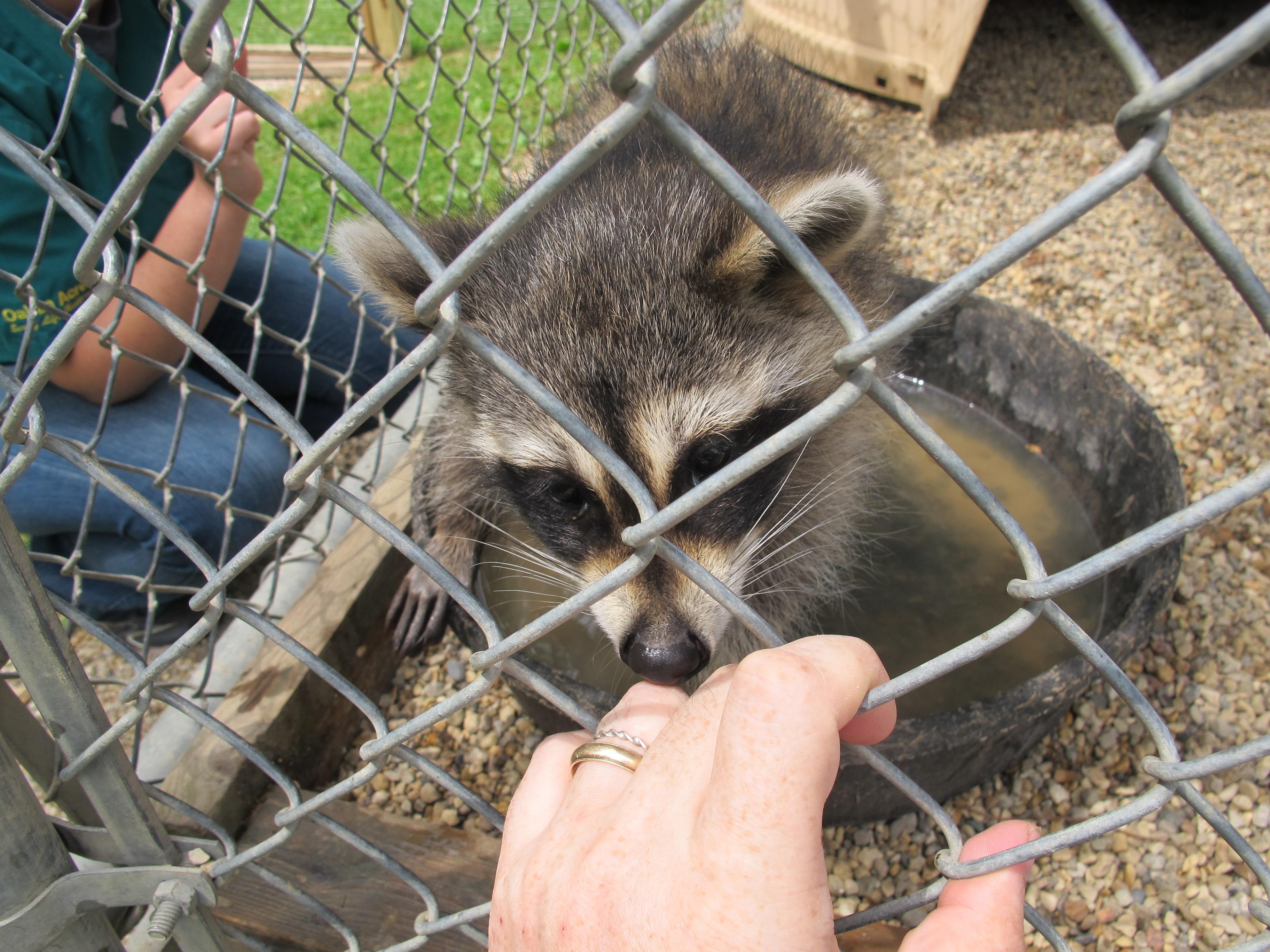 Three-Legged Raccoon 4 by Windthin