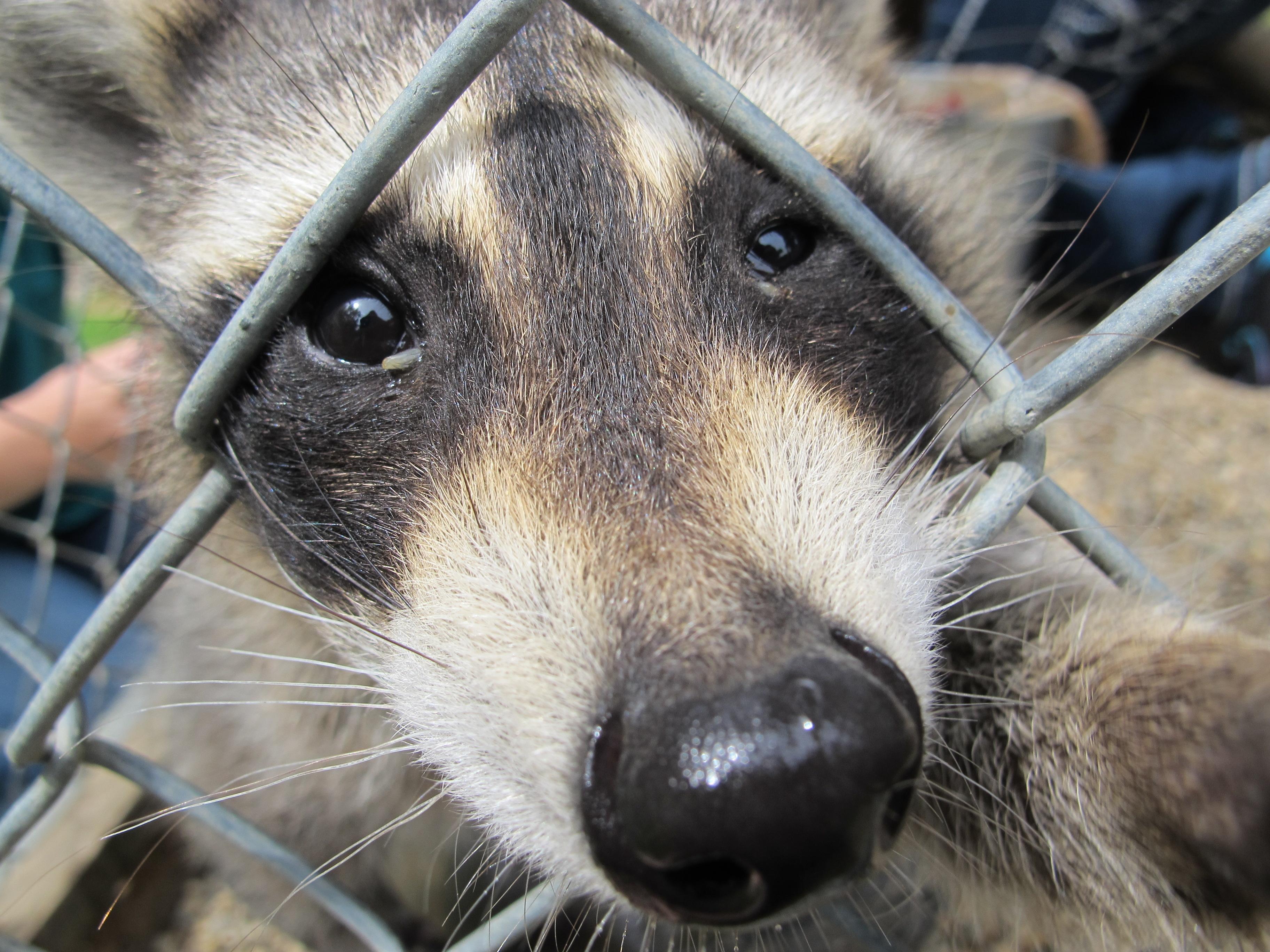 Three-Legged Raccoon 5 by Windthin