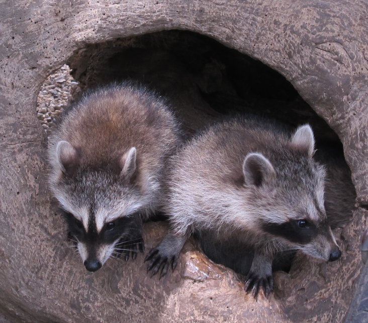 Young Raccoons 17a by Windthin