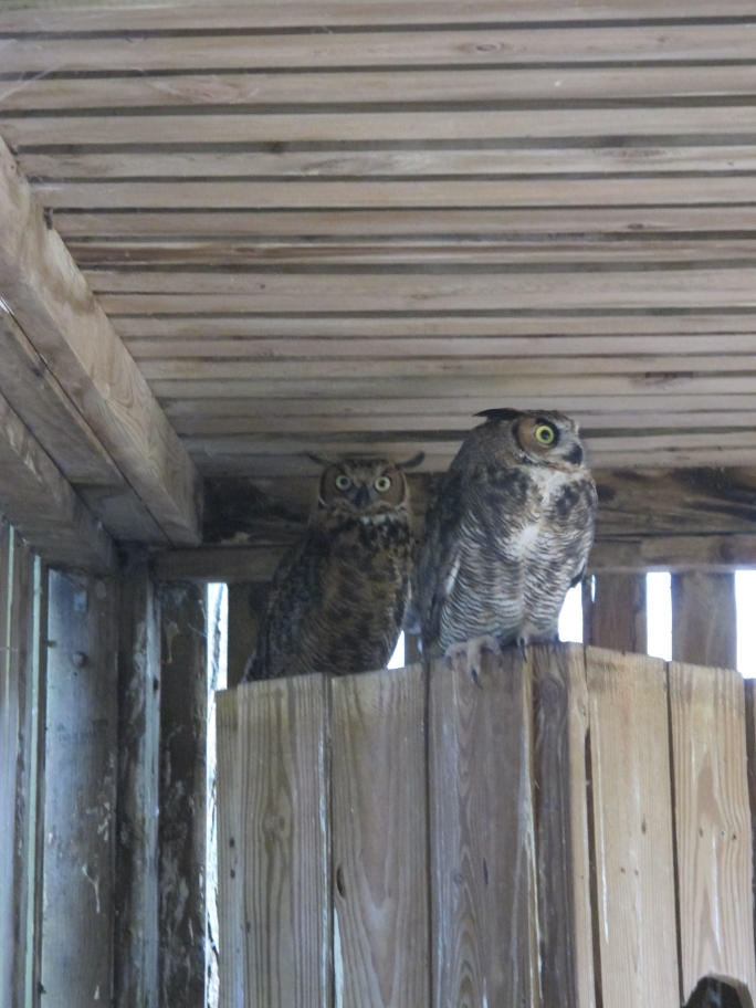 Young Great Horned Owls 5 by Windthin