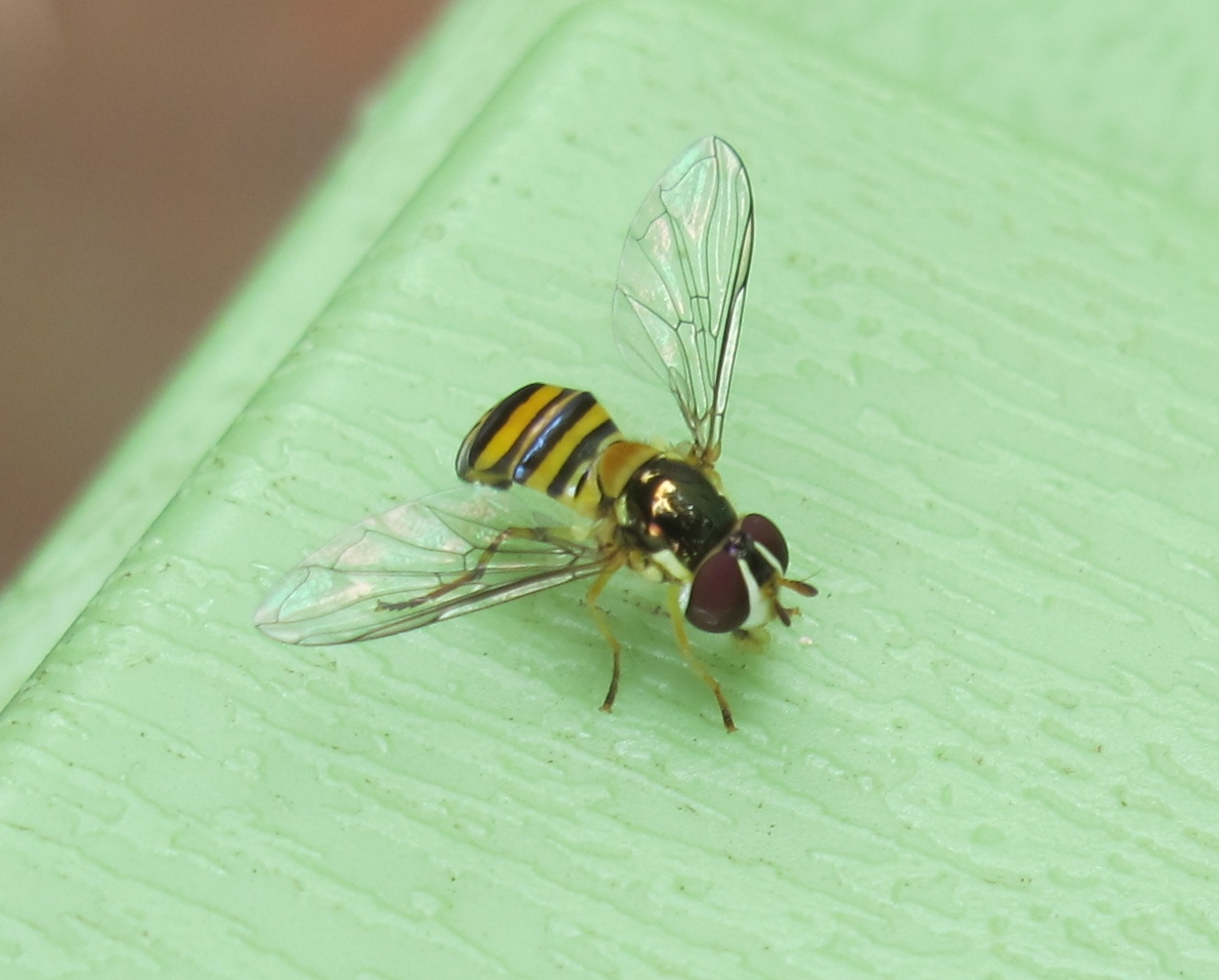 Hoverfly 7a by Windthin