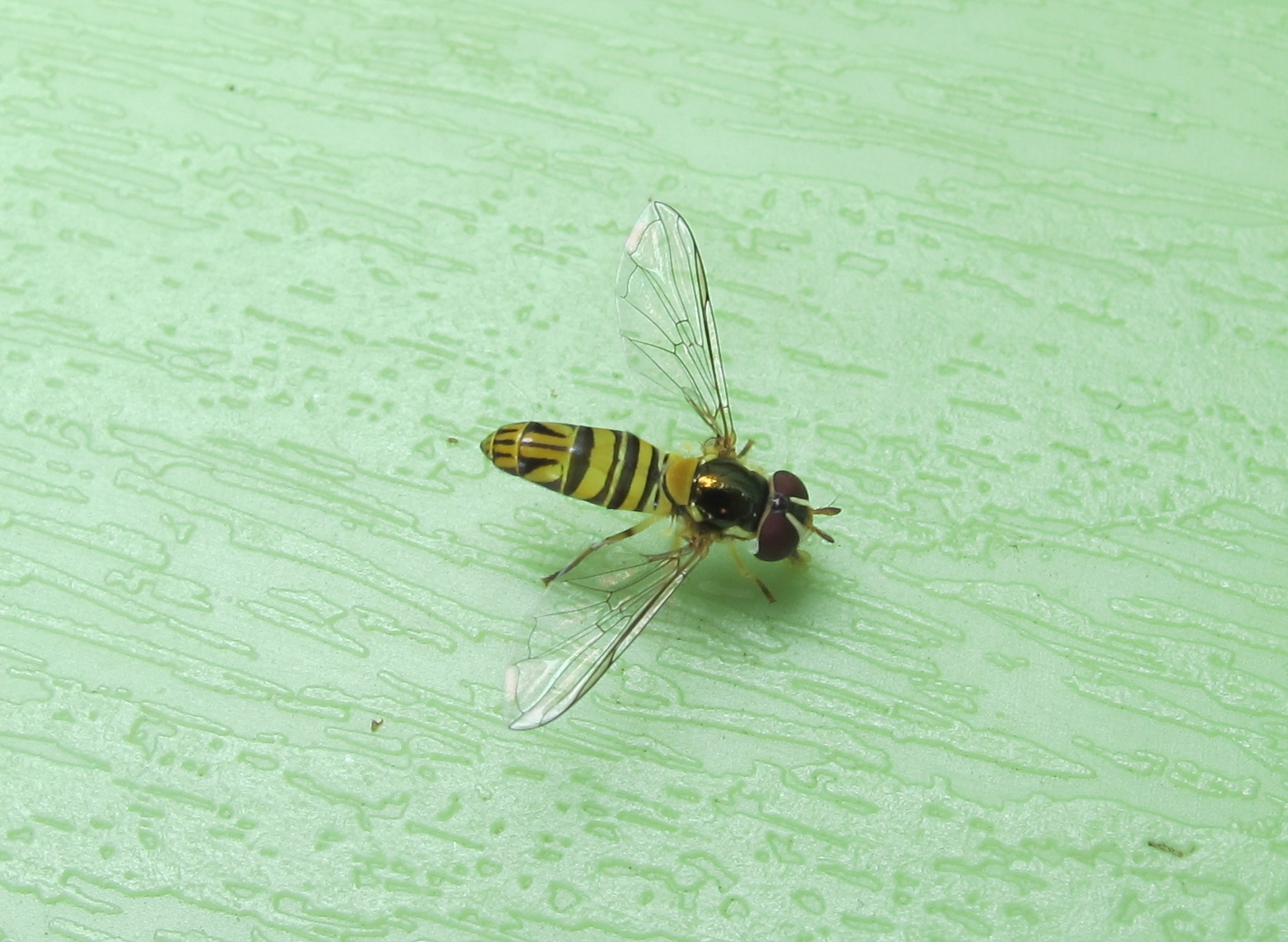 Hoverfly 9a by Windthin