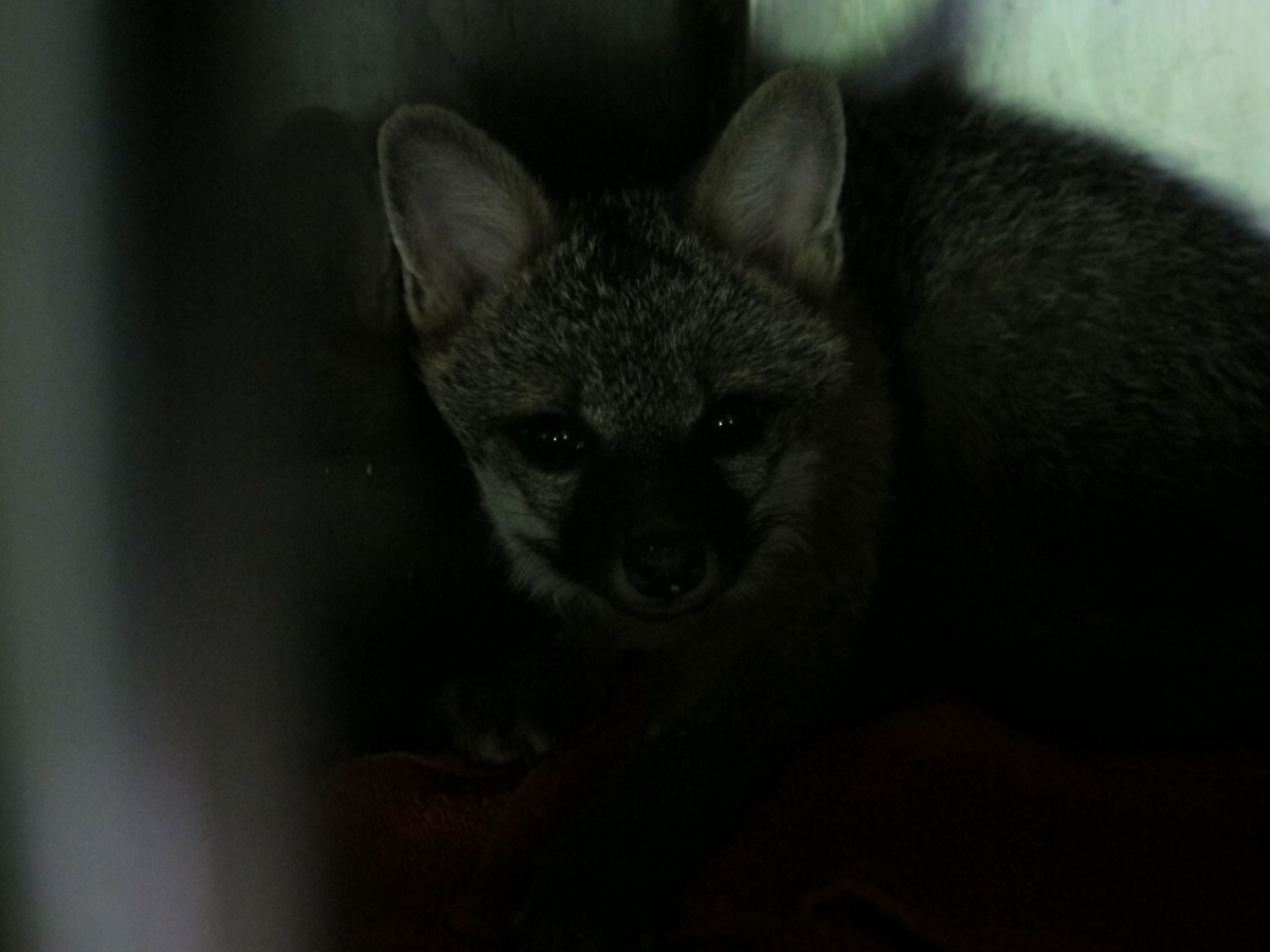 Baby gray foxes - photo#28