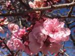 Cherry Blossoms 1.0