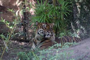 Jungle Tiger by firenze-design